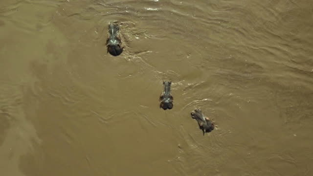 hippopotamus surfacing in mara river, maasai mara, kenya, africa - surfacing stock videos & royalty-free footage