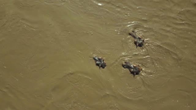 stockvideo's en b-roll-footage met hippopotamus surfacing in mara river, maasai mara, kenya, africa - surfacing