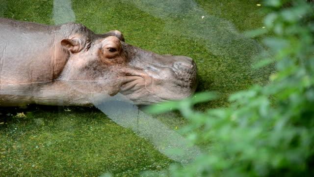 hippopotamus take a nap