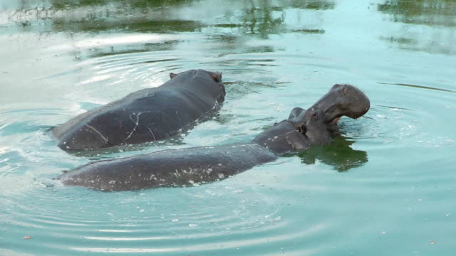 hippopotamus - sabie stock videos and b-roll footage