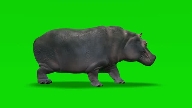 stockvideo's en b-roll-footage met nijlpaard dat animatie op groen scherm loopt. het concept van dier, wilde dieren, games, back to school, 3d animatie, korte video, film, cartoon, organische, chroma key, karakter animatie, design element, loopable - nijlpaard