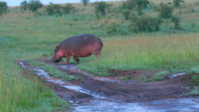 hippopotamus walking, maasai mara, kenya, africa - hippopotamus stock videos & royalty-free footage