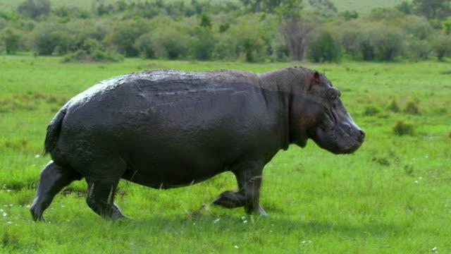 stockvideo's en b-roll-footage met hippopotamus walking maasai mara  kenya  africa - nijlpaard