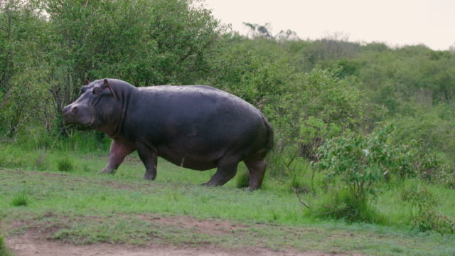 hippopotamus walking near bushes maasai mara, kenya, africa - grasen stock-videos und b-roll-filmmaterial