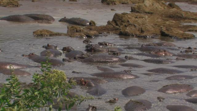 hippopotamus (hippopotamus amphibius) zoom out hippo pool, serengeti, tanzania - タンザニア点の映像素材/bロール