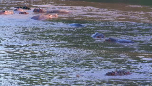 Hippopotamuses In Mara River Maasai Mara, Kenya, Africa