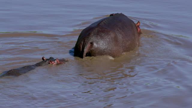 Hippopotamuses In Mara River Walking Maasai Mara, Kenya, Africa