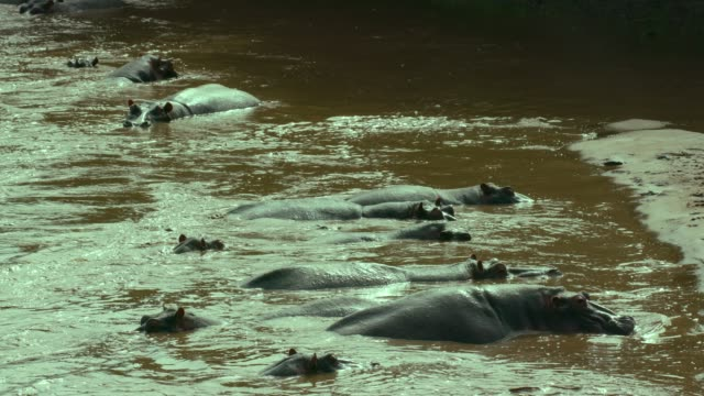 hippopotamuses in talek river, maasai mara, kenya, africa - group of animals stock videos & royalty-free footage