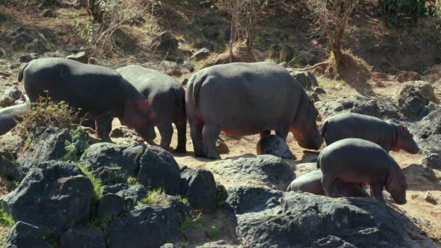 hippopotamuses on river bank maasai mara  kenya  africa - ausgedörrt stock-videos und b-roll-filmmaterial