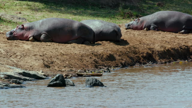 hippopotamuses on river bank maasai mara  kenya  africa - resting stock videos and b-roll footage