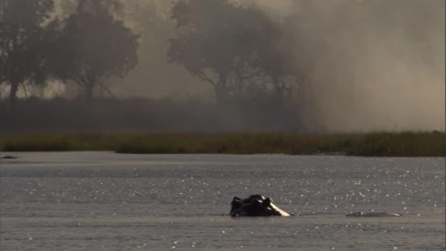 vidéos et rushes de hippos bathe in a swamp near a wildfire in the okavango delta in botswana. - hippopotame