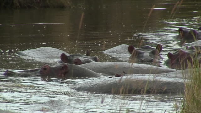 ms hippos bathing in river / serengeti, tanzania - mittelgroße tiergruppe stock-videos und b-roll-filmmaterial