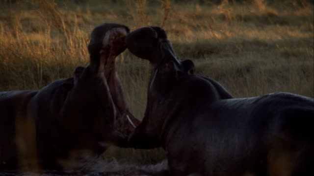 Hippos fight in a watering hole. Available in HD.