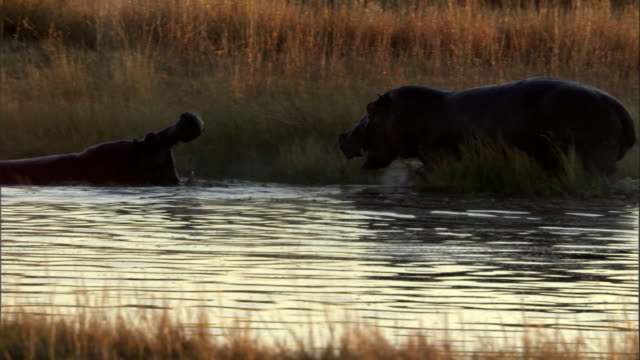 hippos fight in a watering hole. available in hd. - オカバンゴデルタ点の映像素材/bロール