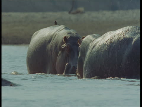 Hippos fight in the Luanga River, Zambia.