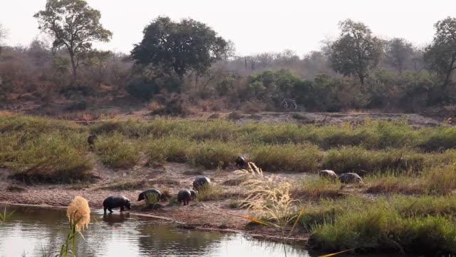 hippos grazing by river in kruger national park - krüger nationalpark stock-videos und b-roll-filmmaterial
