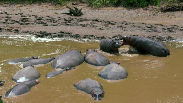 hippos in mara river maasai mara, kenya, africa - hippopotamus stock videos & royalty-free footage