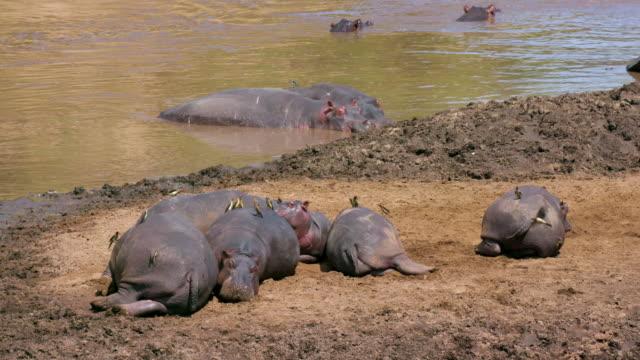 hippos in mara river & sleeping on river bank maasai mara, kenya, africa - resting stock videos & royalty-free footage