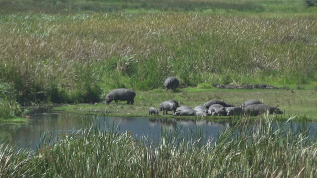 hippos near pond - wiese stock videos & royalty-free footage