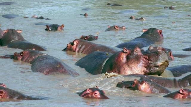 hippos of serengeti national park, tanzania - タンザニア点の映像素材/bロール
