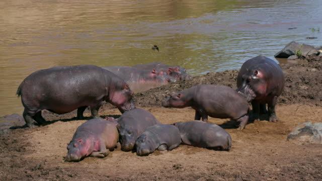 Hippos On Bank & In Mara River Maasai Mara, Kenya, Africa