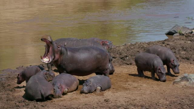 stockvideo's en b-roll-footage met hippos on bank & in mara river maasai mara, kenya, africa - nijlpaard
