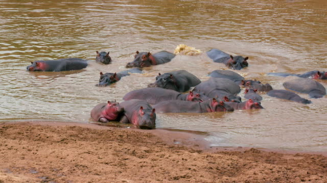hippos resting on river bank maasai mara, kenya, africa - hippopotamus stock videos & royalty-free footage