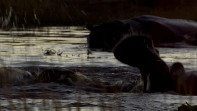 vídeos y material grabado en eventos de stock de hippos spar in a watering hole. available in hd. - delta de okavango