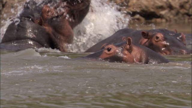 Hippos (Hippopotamus amphibius) splash in river, Luangwa, Zambia