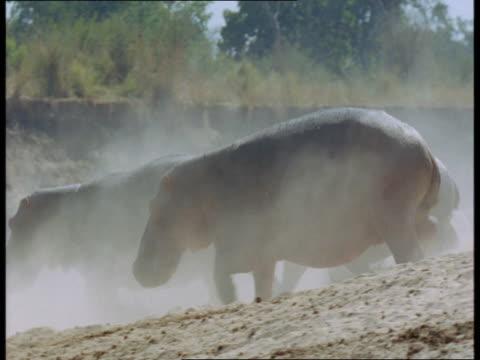 stockvideo's en b-roll-footage met hippos stampede into a river. - op hol slaan