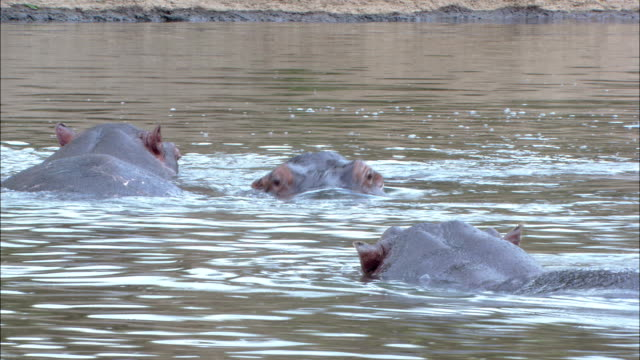 stockvideo's en b-roll-footage met hippos surface and submerge in a river. - waden