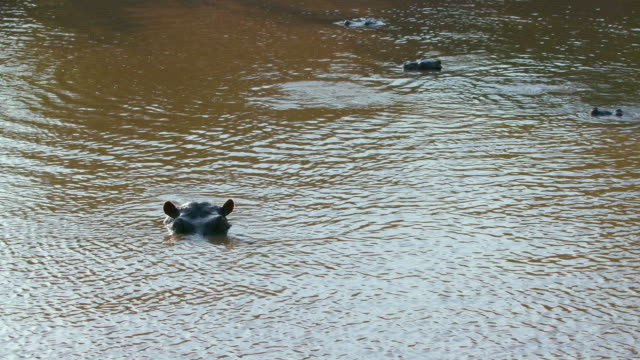 hippos surfacing in mara river maasai mara, kenya, africa - surfacing stock videos & royalty-free footage
