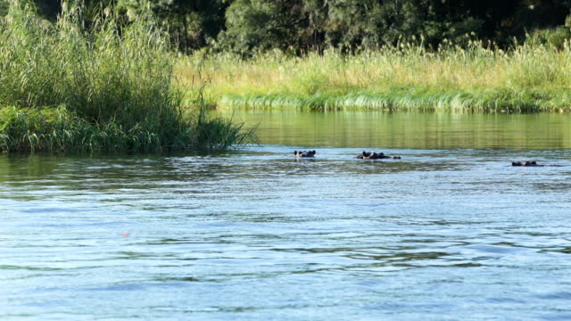 Hippos swim in the river
