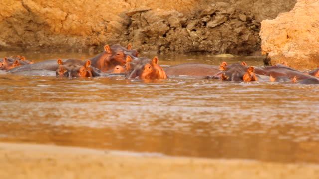 ms hippos swimming at lake / lukuzi, eastern, zambia - medium group of animals stock videos & royalty-free footage