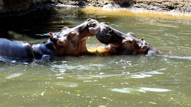 hippos - hippopotamus stock videos & royalty-free footage