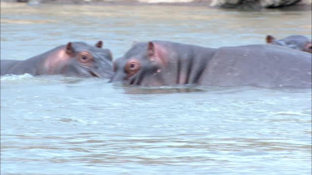 stockvideo's en b-roll-footage met hippos wade in a river. - waden