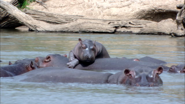 hippos wade in a river. - group of animals stock videos & royalty-free footage