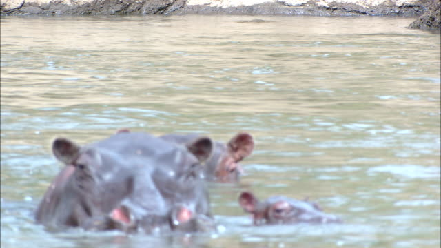 stockvideo's en b-roll-footage met hippos wade in a river with their eyes above the water. - waden