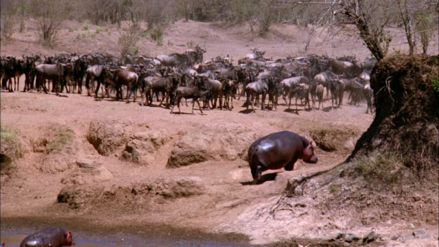 hippos walk away from a river near a herd of wildebeests. - タンザニア点の映像素材/bロール