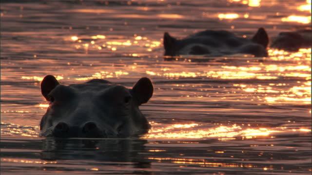 Hippos (Hippopotamus amphibius) wallow in river at sunset, Luangwa, Zambia