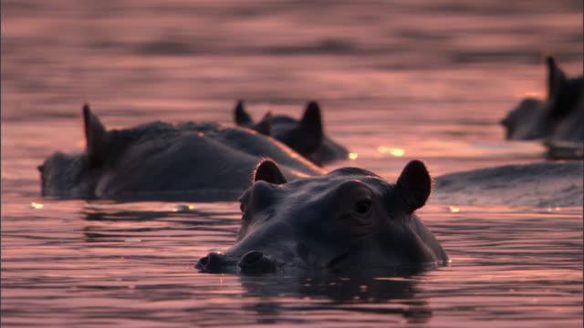 hippos (hippopotamus amphibius) wallow in river at sunset, luangwa, zambia - kleine gruppe von tieren stock-videos und b-roll-filmmaterial