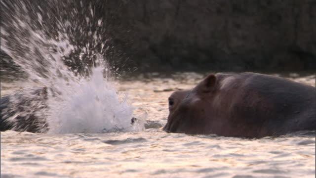 Hippos (Hippopotamus amphibius) wallow in river, Luangwa, Zambia
