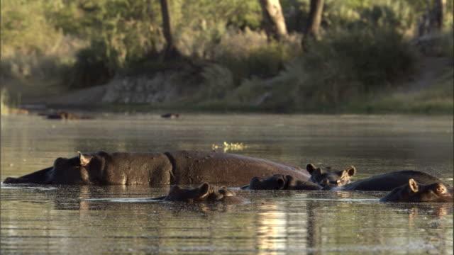hippos wiggle their ears above water level in botswana's okavango delta. available in hd. - öra bildbanksvideor och videomaterial från bakom kulisserna