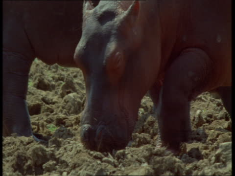 hippos yawn and graze in the mud. - foraging stock videos and b-roll footage
