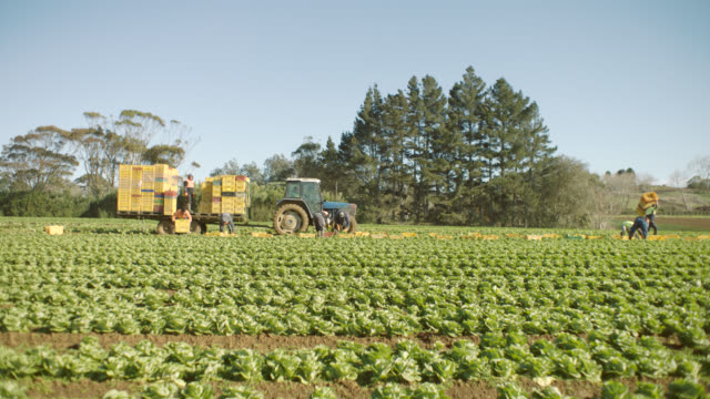 vídeos de stock e filmes b-roll de hired farm workers harvesting lettuce by hand in field - campo