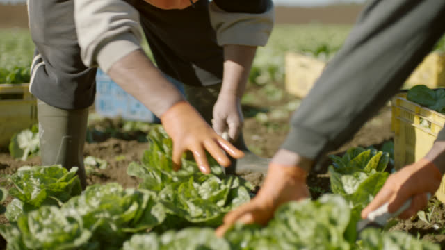 vídeos de stock e filmes b-roll de hired farm workers harvesting lettuce by hand in field - legumes
