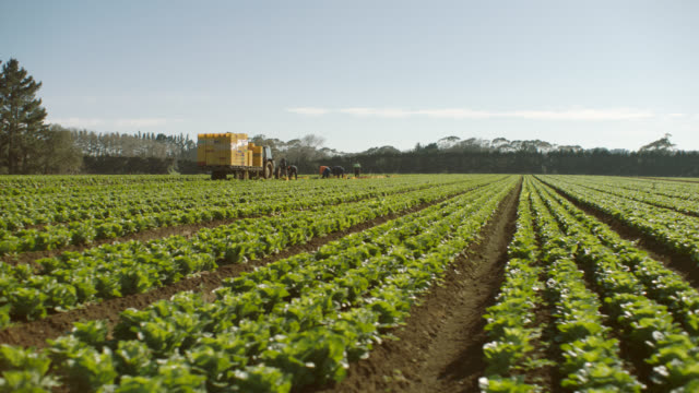 vídeos de stock e filmes b-roll de hired farm workers harvesting lettuce by hand in field - alface