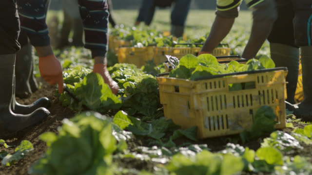 vídeos de stock e filmes b-roll de hired farm workers harvesting lettuce by hand in field - agricultura
