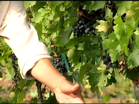 Hispanic Harvesting Wine Grapes in Vineyard