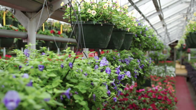 hispanic woman in greenhouse arranging plants - garden center stock videos and b-roll footage